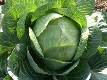 Fresh cabbage closeup Royalty Free Stock Image