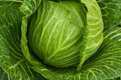 Fresh cabbage with drops on leafs Stock Photo