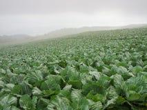 Fresh cabbage farm at Phu tup berk Royalty Free Stock Photo