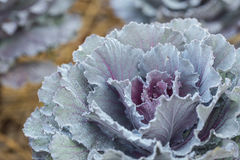 Fresh Cabbage in field Royalty Free Stock Photography