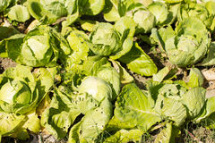 Fresh cabbage Stock Images