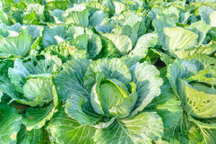Fresh cabbage in the garden. Royalty Free Stock Photos