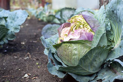 Fresh cabbage in garden Royalty Free Stock Images