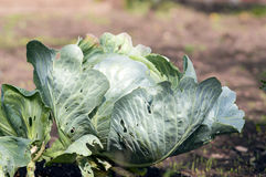 Fresh cabbage in garden Royalty Free Stock Photography