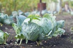 Fresh cabbage in garden Stock Image