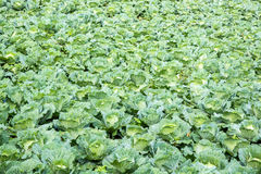 Fresh cabbage in the garden. Royalty Free Stock Photo