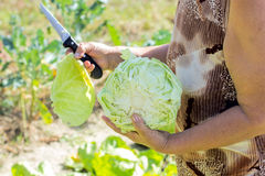 Fresh cabbage in the garden Stock Images