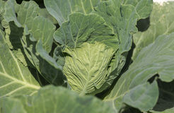 Fresh cabbage growing in the garden Stock Image