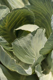 Fresh cabbage grows on a small organic farm Royalty Free Stock Photos