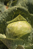 Fresh cabbage grows on a small organic farm Stock Image