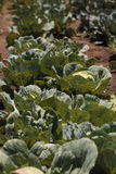 Fresh cabbage grows on a small organic farm Stock Photo