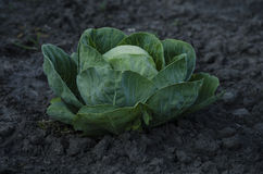 Fresh cabbage head growing on the farm. Royalty Free Stock Images