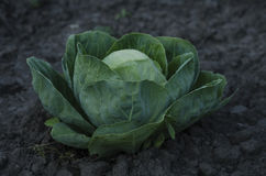 Fresh cabbage head growing on the farm. Royalty Free Stock Photo