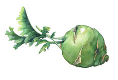 Fresh cabbage kohlrabi with green leaves. German turnip Watercolor hand painting illustration on isolate white background Stock Photography