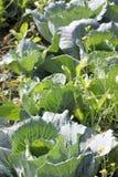 Fresh Cabbage leaf in vegetable gardening. Stock Photos