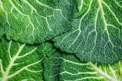 Fresh cabbage leaves stock images