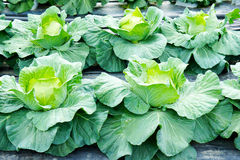Fresh cabbage Royalty Free Stock Image