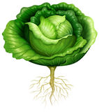 Fresh cabbage with roots Royalty Free Stock Photography