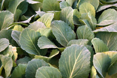 Fresh Cabbage saplings . Vegetables. Dietary food.. Vegetables for cooking. Kitchen garden. Cabbage seedling. Sale of seedling. Vegetables stock photography