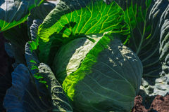 Fresh cabbage in the vegetable garden Royalty Free Stock Photography