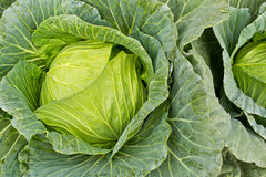 Fresh cabbage in the vegetable garden Stock Photos