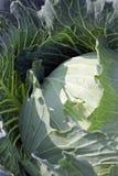 Fresh Cabbage in vegetable gardening. Stock Image