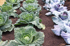 Fresh cabbages Royalty Free Stock Image