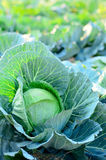 Fresh cabbages Stock Photos