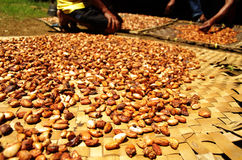 Fresh cacao beans drying in the sun. Cacao harvest on Sulawesi, Indonesia, raw beans ready to be processed into chocolate Stock Photos