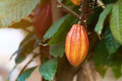 Fresh cacao pod. Close-up hanging on tree royalty free stock image