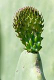 Fresh Cactus leaf, opuntia, fresh cactus leaf in spring time, popular cactus in Malta, cactus close up, green leaf of cactus isola Royalty Free Stock Photo