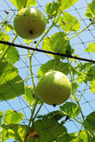 Fresh calabash hanging on the garden Royalty Free Stock Images