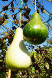 Fresh calabash on tree Royalty Free Stock Images