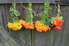 Fresh calendula, nasturtium,tagetes. Hanging for drying Stock Photo