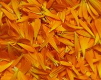 Fresh Calendula Officinalis, Also Known As Pot Marigold, Petals Gathered For Drying Medicinal Use Royalty Free Stock Images