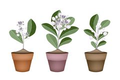 Fresh Calotropis Gigantea in Ceramic Flower Pots Stock Image