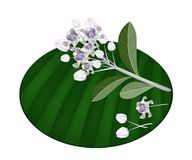 Fresh Calotropis Gigantea Flowers on Banana Leaf Stock Images