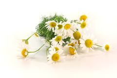 Fresh camomile flowers Stock Photo