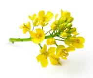Fresh canola flowers on white. Background stock photo