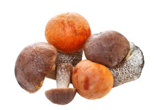Fresh cap boletus Stock Images