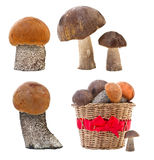 Fresh cap boletus Royalty Free Stock Photography