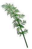 Fresh Caraway Carum carvi, paths Stock Images