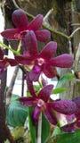 Fresh Carmine Dendrobium orchid Stock Photo