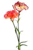 Fresh Carnation Stock Photos