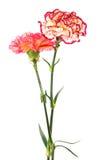 Fresh Carnation Stock Photography