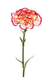 Fresh carnation Stock Photo