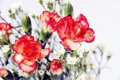 Fresh carnation closeup. Fresh carnation closeup on white background Royalty Free Stock Photo