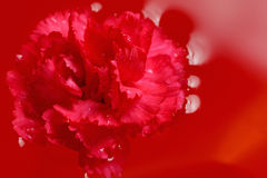Fresh carnation with drops on the petals and reflection in red water Royalty Free Stock Photos
