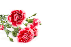 Fresh carnations  on white background Royalty Free Stock Photography