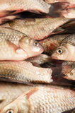Fresh carp fish Stock Image